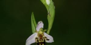 L'Orphys Abeille une belle orchidée sauvage