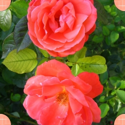 Roses of our garden represents the Mont Blanc B&B